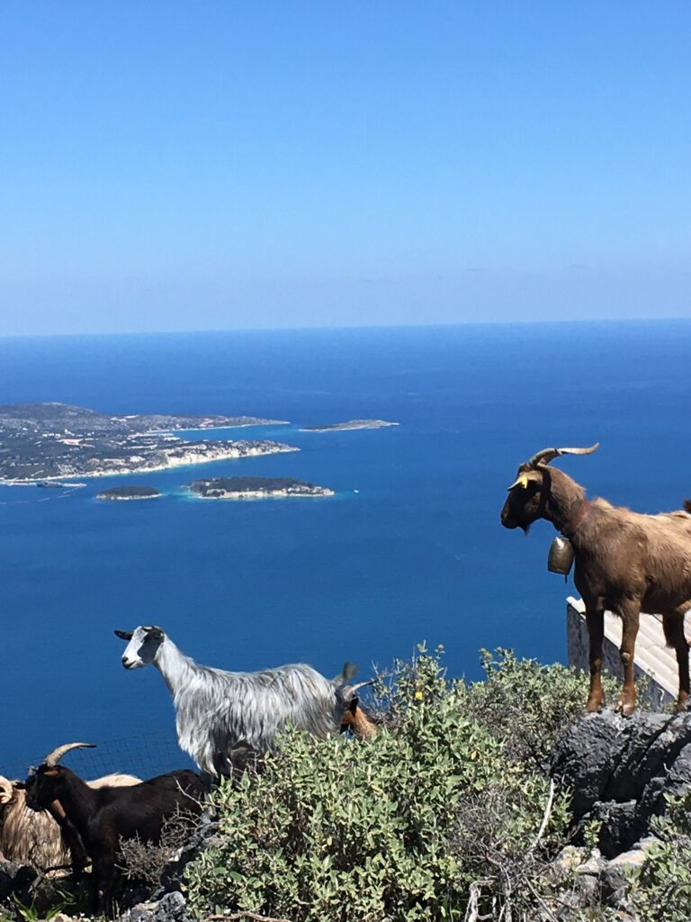 Vacation in Crete- Shepherd's Goats- Goats with Bells: Platanias Ariston